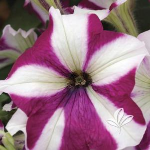 Petunia 'Easy Wave Burgundy Star'