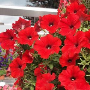 Petunia 'Red Fox Sweetunia Hot Rod Red'