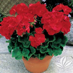 Pelargonium 'Americana Red Zonal'