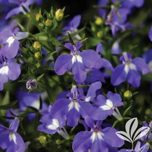 Lobelia erinus 'Heat Dark Blue'