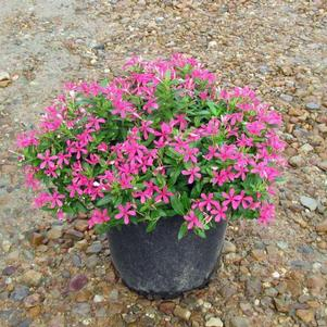 Catharanthus 'Pink'