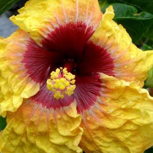 Hibiscus rosa-sinensis 'Fifth Dimension'