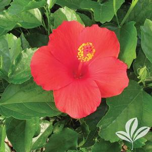 Hibiscus rosa-sinensis 'Feeling Hot'
