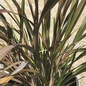 Phormium 'Black Beauty'
