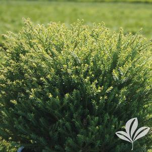 Thuja occidentalis 'Bobazam'
