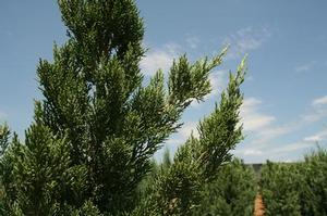 Juniperus chinensis 'Iowa'