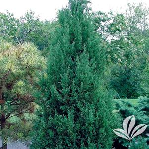 Juniperus chinensis 'Perfecta'