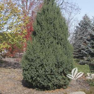 Juniperus x 'J.N. Select Blue'