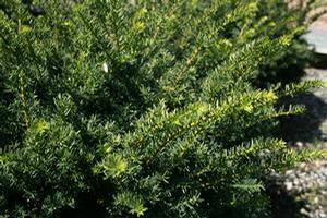 Taxus x media 'Everlow'