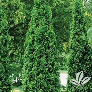 Thuja occidentalis 'Art Boe'