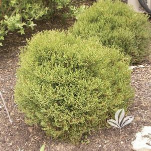 Thuja occidentalis 'Linesville'
