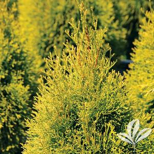Thuja occidentalis 'Janed Gold'
