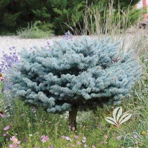 Picea pungens 'Glauca Globosa'-High Graft