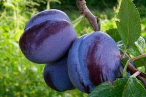 Prunus 'Blue Damson'