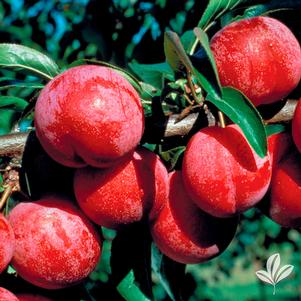 Prunus 'Ruby'