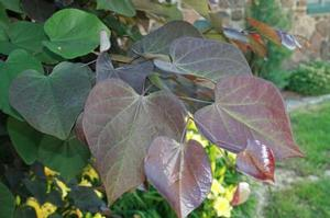 Cercis canadensis 'Greswan'
