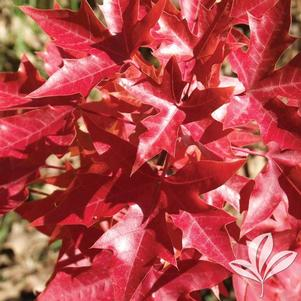 Acer truncatum 'Fire Dragon'