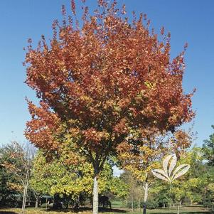 Acer saccharum 'Commemoration'