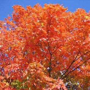 Acer saccharum 'Firehouse'