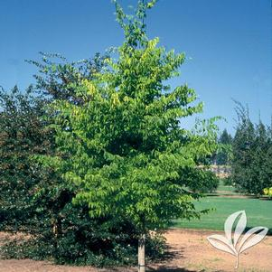 Celtis occidentalis 'JFS-KSU1'