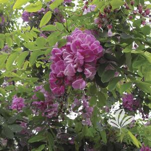 Robinia x 'Purple Robe'