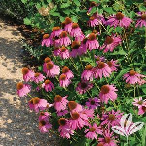 Echinacea purpurea 'Kim's Knee High'