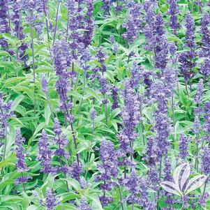 Salvia farinacea 'Evolution'