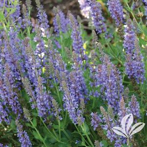 Salvia 'Blue Hill'