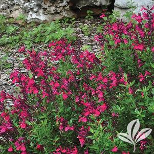 Salvia greggii 'Cherry Queen'