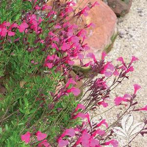 Salvia greggii 'Hot Pink'