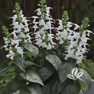 Salvia coccinea 'Summer Jewel White'