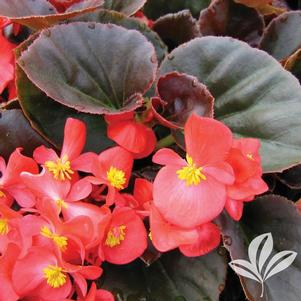 Begonia 'Vodka'