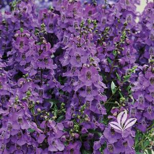 Angelonia angustifolia 'Carita Purple'
