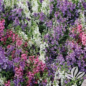 Angelonia angustifolia 'Serenita Mix'