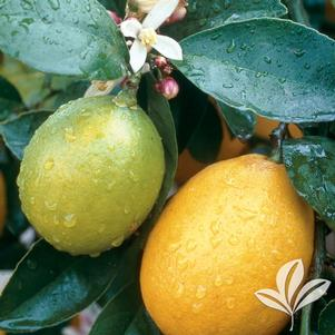 Citrus limon 'Meyer'