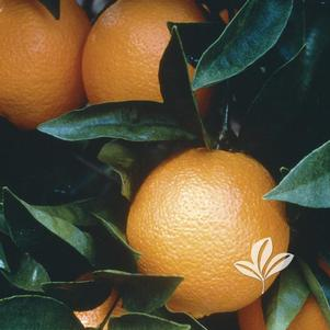 Citrus reticulata 'Navel Orange'