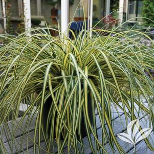 Carex oshimensis 'Everoro'