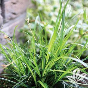 Carex oshimensis 'Everdi'