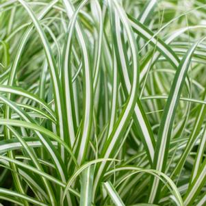 Carex oshimensis 'Everlite'