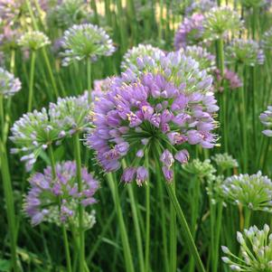 Allium 'August Asteroids'