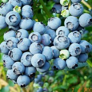 Vaccinium ashei 'Powderblue'