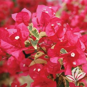 Bougainvillea 'Raspberry Ice'